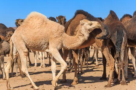 White camel walking across flock of camel in desert during day