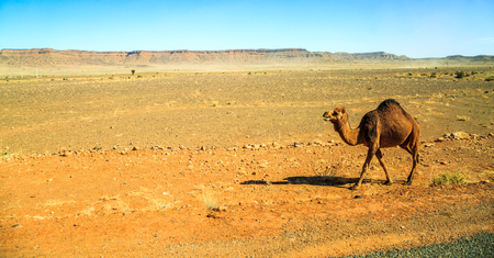 dromedary walking in the middle of the desert with mountains in the background, on a sunny day