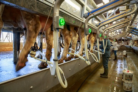 Benon, France - April 14, 2017:Holstein dairy cows aligned in modern milking parlor are being treated by electic and fully robotic milking machines