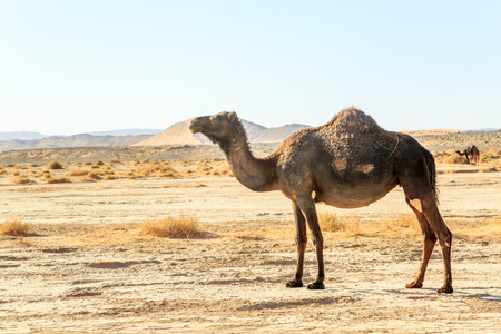 Zijaanzicht van dromedaris alleen in de Marokkaanse woestijn