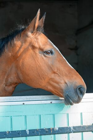 Closeup on Bay horse out head here in his box in the stables Stock fotó