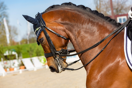 close-up on overbent dressage horse wearing an anti-fly cap Stock Photo