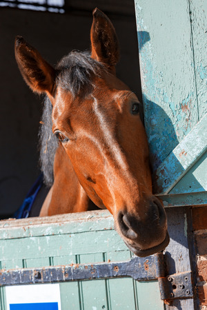 Closeup on Bay horse out head here in his box in the stables Stock fotó - 94687700