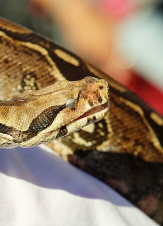 Closeup of head of Boa constrictors, a snake specie, eye