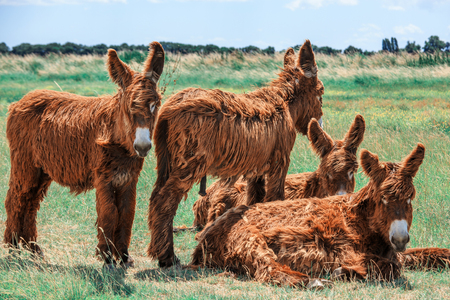 view of Shaggy Poitou donkeys in a green pasture by a stream.