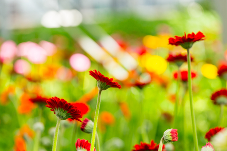 Red and pink gerberas grow in modern greenhouse under artificial growlight