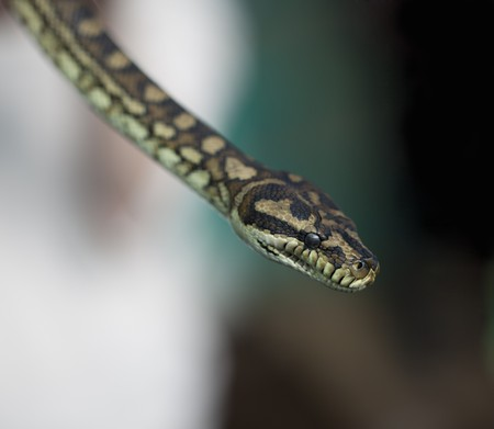 Python snake Stock Photo - 7576977