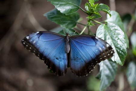 Blue morpho butterfly Stock Photo - 7576994