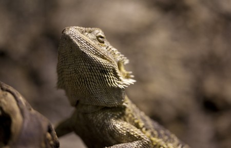 Bearded dragon Stock Photo - 7576969