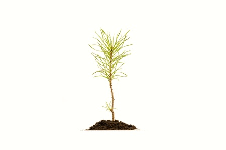 Young pine tree in soil on white background