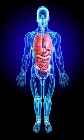 organi interni: 3d ha reso medico x-ray illustrazione - anatomia polmoni