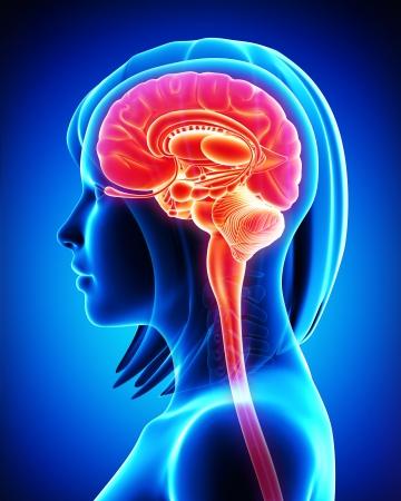 Brain anatomy - cross section
