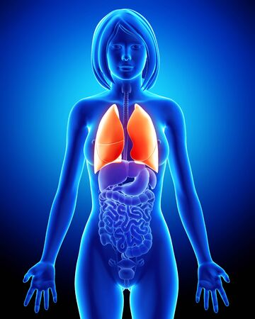 frontal sinuses:  3d art illustration of Female respiratory system with lungs