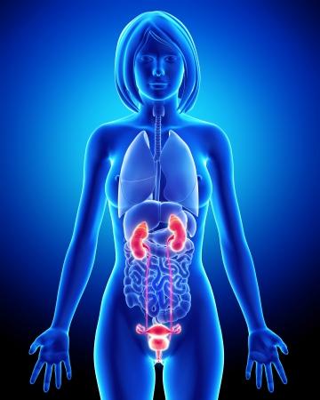 uretra: Los órganos reproductores femeninos con los testículos