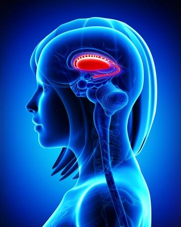 Anatomy of brain s putamen and caudate nucleus- cross section Stock Photo