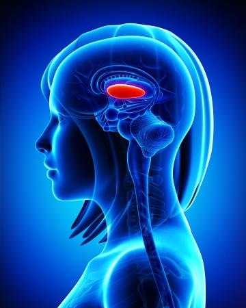 globus: Anatomy of brain s globus pallidus,lateral, L- cross section Stock Photo