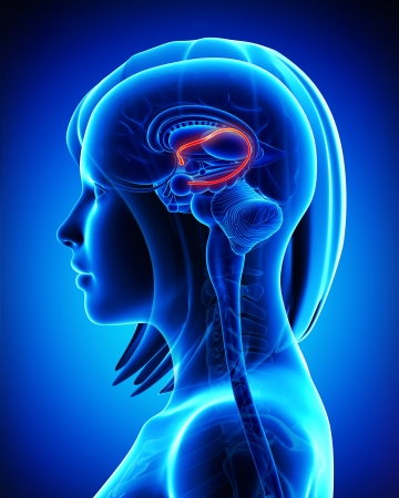 Brain fonix anatomy of female Stock Photo - 14606579