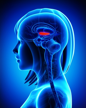 globus: Anatomy of brain s globus pallidus, medial,L- cross section