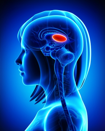 cerebellum: Anatomy of brain s thalamus, L- cross section Stock Photo