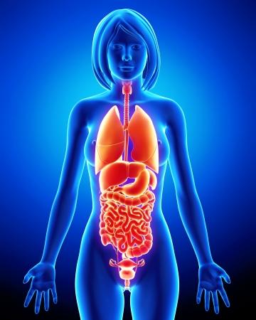 digestive system: De rayos X de los �rganos internos del cuerpo femenino