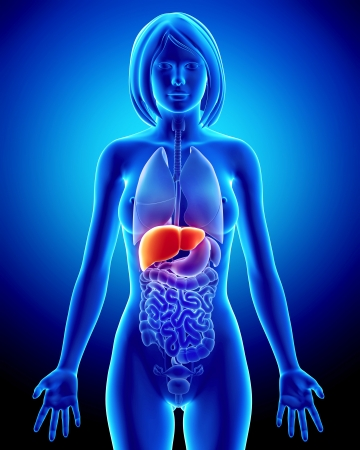 Anatomy of female liver in blue x-ray photo