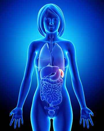 Female spleen and abdominal organs in blue x-ray Stock Photo - 14603586