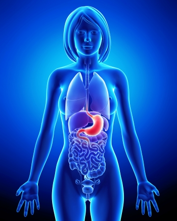 Digestive system of female Stock Photo - 14603583