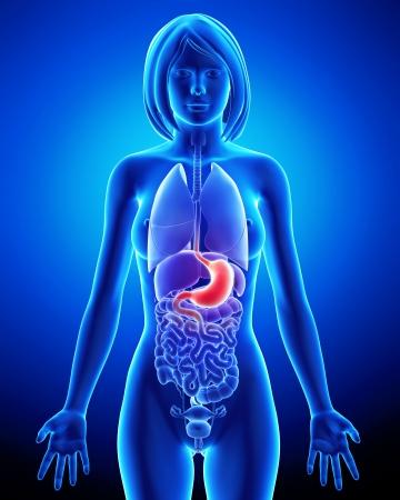 sistema digestivo: El sistema digestivo de la mujer