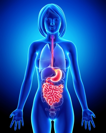 intestine: 3d art illustration of Anatomy of female digestive system Stock Photo
