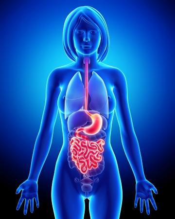 intestino: Ilustración de arte 3D de la anatomía del sistema digestivo femenino