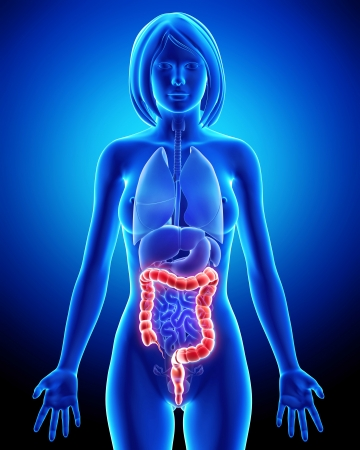 Female anatomy - digestive system Stock Photo - 14603600