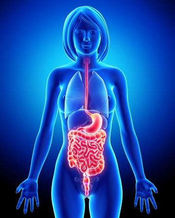 intestino: Anatom�a del sistema digestivo hembra Foto de archivo