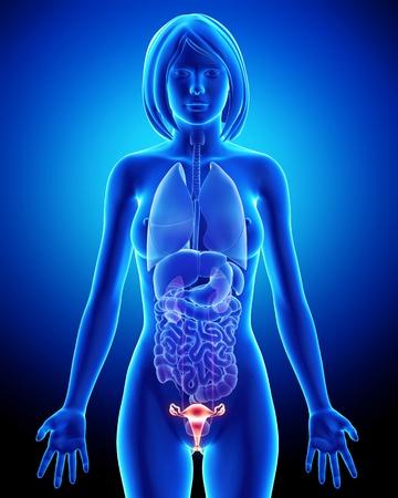 Anatomía de la vejiga Mujer en azul de rayos X de bucle Foto de archivo - 14603595