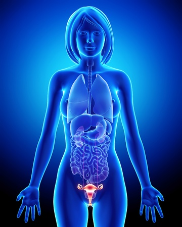 Female bladder anatomy in blue x-ray loop photo