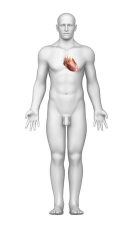 myocardium: cuore vista interno con corpo maschile
