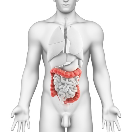 Colon anatomy of male digestive system  photo