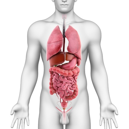 higado humano: 3d ilustración de todos los órganos internos de la ilustración 3d masculina del cuerpo de todos los órganos internos del cuerpo masculino Foto de archivo