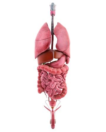 sistema digestivo: 3d ilustración de los órganos internos del cuerpo masculino Foto de archivo