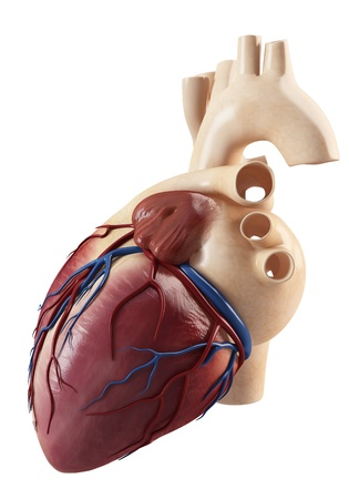 Anatomy of side view of the human heart andinterior structure  photo