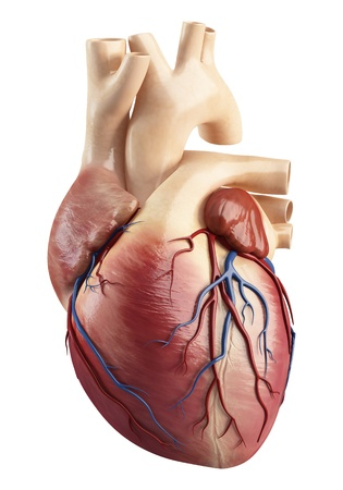 heart anatomy: Front view of the Anatomy of heart interior structure