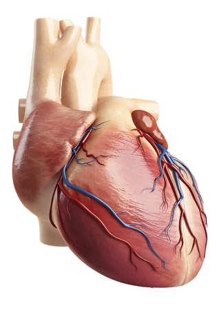 myocardium: Side face view of the heart interior  Stock Photo