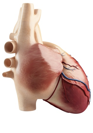 conduction: Anatomy Of the side view of the heart interior  Stock Photo