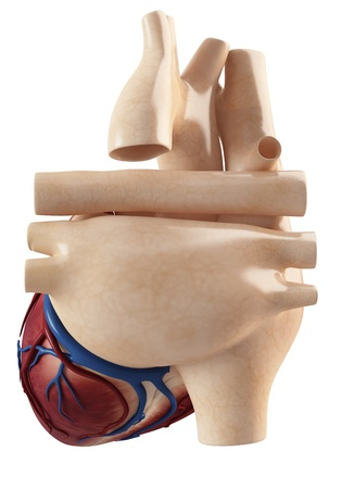 myocardium: Anatomia di vista interno cuore