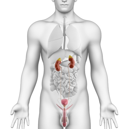 male anatomy: Male UROGENITAL TRACT anatomy illustration on white ANGLE VIEW Stock Photo