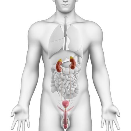 pene: Urogenitale maschile anatomia illustrazione TRATTO IN MOSTRA AD ANGOLO bianco Archivio Fotografico