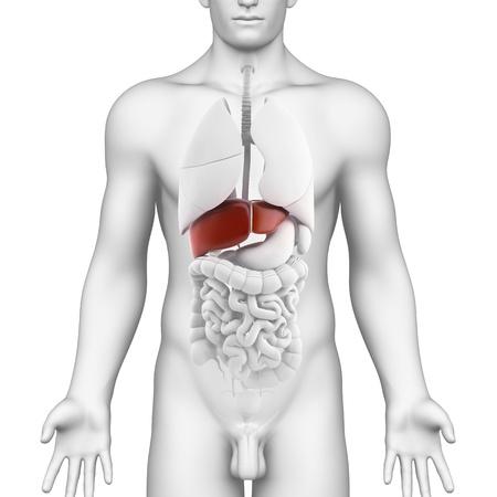 higado humano: Órgano hígado Male - vista interior con hígado órgano de cuerpo completo masculino - vista interior con todo el cuerpo