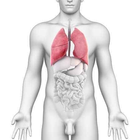 Lungs Anatomy of the Male Respiratory System anterior photo