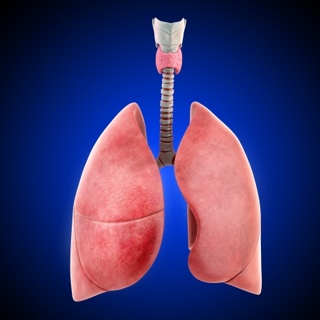 Lungs isolated on blue background photo