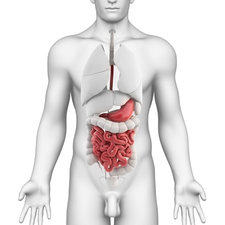 Male GUTS and STOMACH anatomy with full body photo