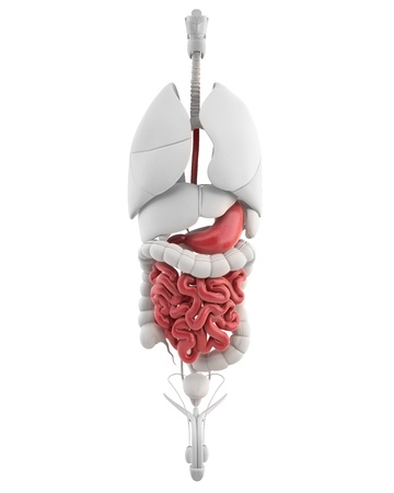 human digestive system: Male GUTS and STOMACH anatomy anterior x-ray
